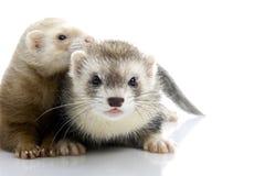 ferrets пар молодые Стоковые Изображения