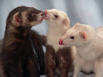 Ferrets. Ferret friends. Two siamese and one male sable ferret Royalty Free Stock Images