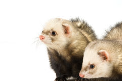 Ferrets Stock Photos