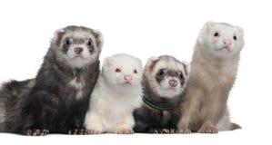 ferrets 4 группы Стоковые Изображения