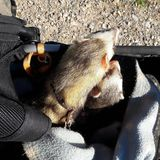 Adult male sable ferrets out in pram. Ferrets adult male out in their pram stock images