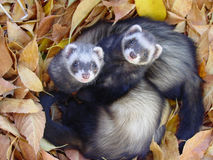 Ferrets in Autumn Leaves. Two baby ferrets in the autumn leaves Stock Images