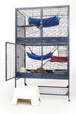 Ferrets eating their lunch in opened cage. Ferrets eating and enjoying their home stock photography