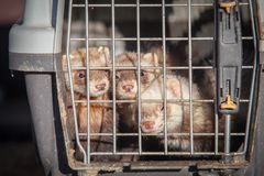 Ferrets looking. Ferrets watching from the cage. Animals with fear royalty free stock image