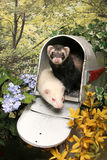 Ferrets in a Mailbox Stock Photos