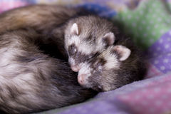 Ferrets: Mocha + Bean. A bonded pair of ferrets (one boy, one girl) sleeping snuggled together. So adorable! A beautiful symbol of closeness, love, sharing stock photo