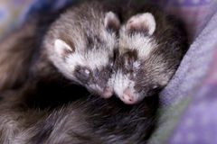 Ferrets: Mocha + Bean. A bonded pair of ferrets (one boy, one girl) sleeping snuggled together. So adorable! A beautiful symbol of closeness, love, sharing stock images
