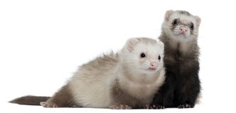 Ferrets, 8 months old, in front of white background. Isolated on white stock photos