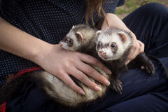 Ferrets outside. Series. Ferrets at the walk with the girl Royalty Free Stock Images