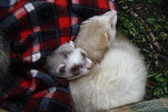Ferrets rolled up under the blanket. The pair of ferrets is curled up under the Scottish blanket stock images