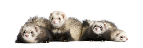 Ferrets in a row - Mustela putorius furo Royalty Free Stock Images