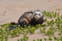 Ferrets in the sand Royalty Free Stock Photo