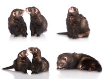 Ferrets. Set of ferrets on white background stock images