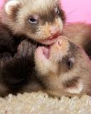 Ferrets. Young ferrets together on the carpet royalty free stock photo
