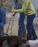 Ferri marcanti a caldo e vitelli Immagine Stock Libera da Diritti