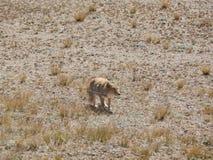 Ferrilata di vulpes del Tibet immagine stock libera da diritti