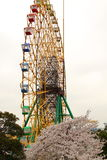 Ferris wheel and cherry. Spring cherry blossom under the Ferris wheel Stock Photography