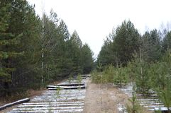Ferrocarril viejo en un bosque del pino Fotografía de archivo libre de regalías