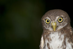 Ferrouginous pygmy-owl Royalty Free Stock Photography