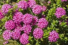 Ferruginea de Pimelea Image stock