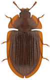 ferrugineaostoma royaltyfria foton