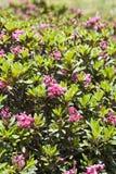 Ferrugineum del rododendro Immagini Stock