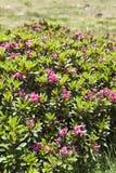 Ferrugineum del rododendro Immagine Stock Libera da Diritti