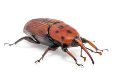 Женский коричневый жук рыльца долгоносика ладони, ferrugineus Rhynchophorus Стоковые Фотографии RF