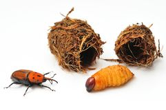 ferrugineus rhynchophorus 免版税图库摄影