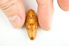 ferrugineusrhynchophorus royaltyfria bilder