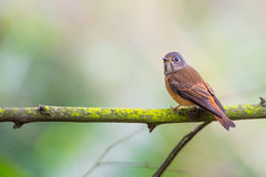 Ferruginour flycatcher standing on tree. With green background Royalty Free Stock Photo