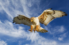 Ferruginous attack Stock Photography