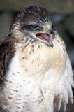 Ferruginous Buzzard Royalty Free Stock Photography