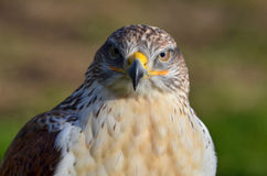 Ferruginous buzzard, Buteo regalis Royalty Free Stock Image