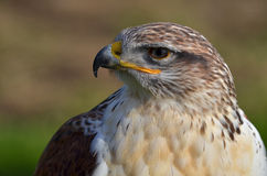 Ferruginous buzzard, Buteo regalis Stock Image