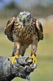 Ferruginous Buzzard Stock Image
