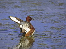 Ferruginous duck 2. Stock Photography