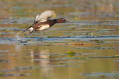 Ferruginous Duck Royalty Free Stock Images