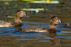 Ferruginous Duck (Aythya nyroca) Royalty Free Stock Image