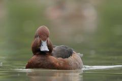 Ferruginous Duck - Aythya nyroca Stock Photos