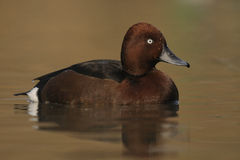 Ferruginous Duck , Aythya nyroca Stock Images