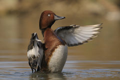 Ferruginous Duck , Aythya nyroca Royalty Free Stock Photography