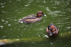 Ferruginous duck (Aythya nyroca). Royalty Free Stock Image