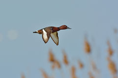 Ferruginous Duck Stock Image