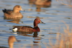 Ferruginous Duck Royalty Free Stock Photo