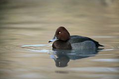 Ferruginous duck, Aythya nyroca, Stock Photo