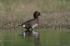 Ferruginous duck, Aythya nyroca Royalty Free Stock Image