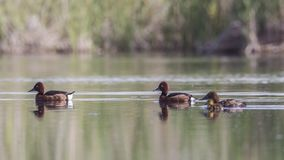 Ferruginous Duck Couple with Babies. Ferruginous Duck couple , Aythya nyroca, and their babies are swimming on pond royalty free stock photo