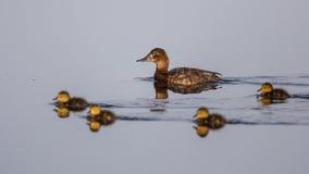 Ferruginous Duck Royalty Free Stock Image