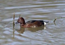 Ferruginous Duck Royalty Free Stock Photo